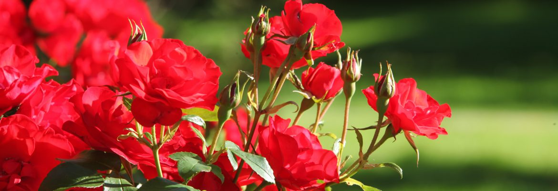 Rode rozen Bedum